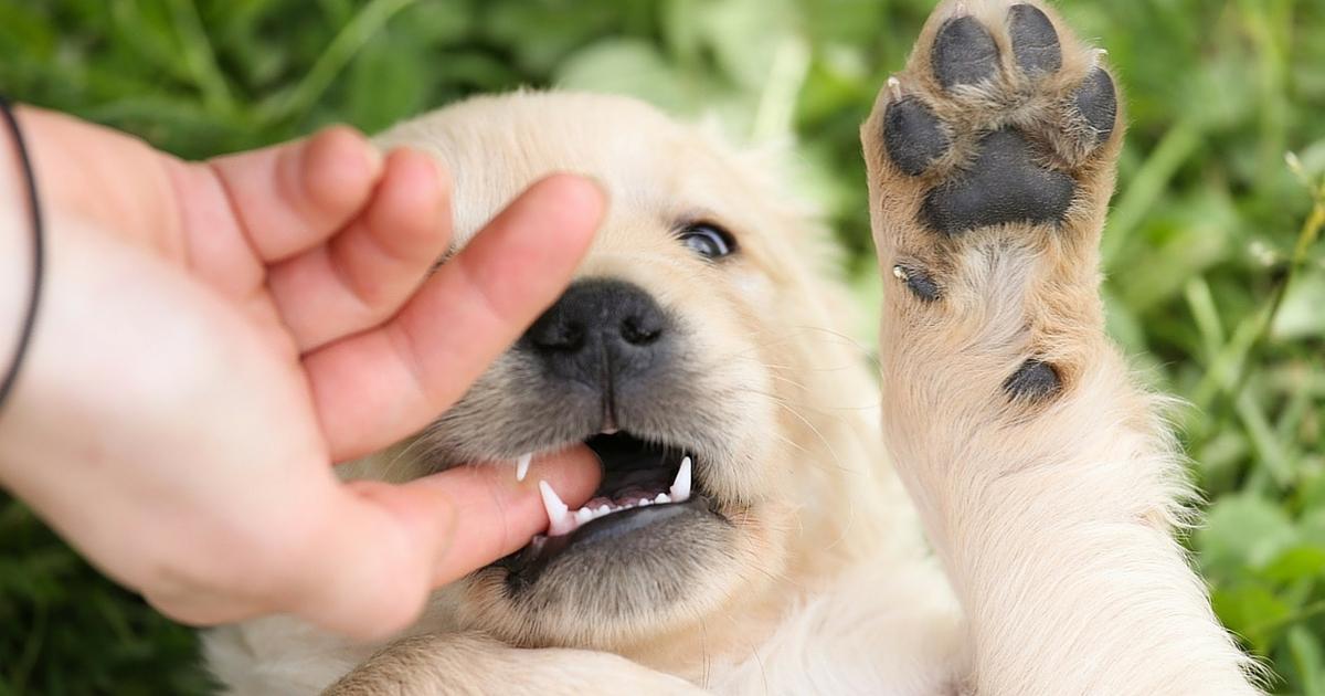 指を噛む子犬