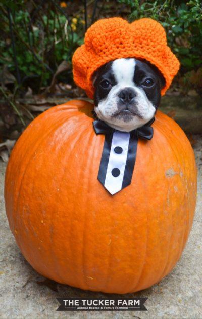 ハロウィン, 犬, かぼちゃ
